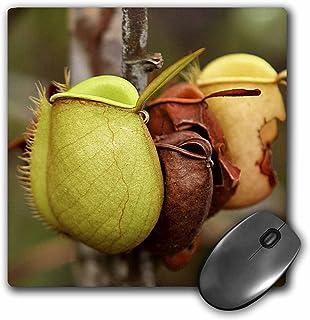 3dRose LLC 8 x 8 x 0.25 Inches Mouse Pad, Borneo, Malaysia, Sarawak, Pitcher Plant Flora-As23 Jst0032 - Jay Sturdevant (mp_72097_1)