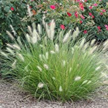 Dwarf FOUNTAIN GRASS pennisetum ornamental patio garden 20 seeds