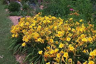 25 Bareroot Hemerocallis Stella D'oros Daylilies-2-3 Fan