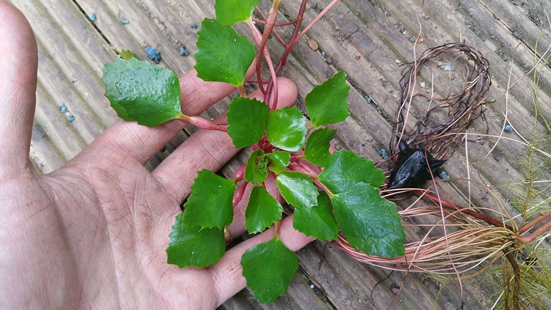 50 Trapa Natans for pond, floating plant against algae