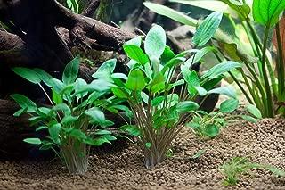 AquariumPlantsFactory - Cryptocoryne Wendtii Green Potted Freshwater Live Aquarium Plants BUY2GET1FREE