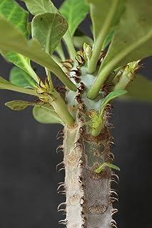 Rạre Euphorbia Iharanae Exotic Color Madagascar Bónsai Blue Cacti SéẹD 5 SéẹDs Seeds_Easy_Grow