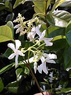 raat ki rani plant for sale