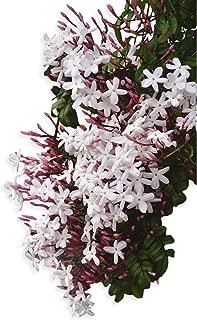 Best jasmine tree for sale Reviews