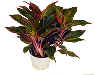 Red Chinese Siam Evergreen, 6