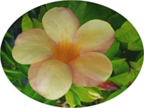 Sunset ALLAMANDA Vine Live Semi-Tropical Plant Rare Unusual Yellow Coral Pink Blushed Trumpet Flower Starter Size 4 Inch Pot Emerald tm
