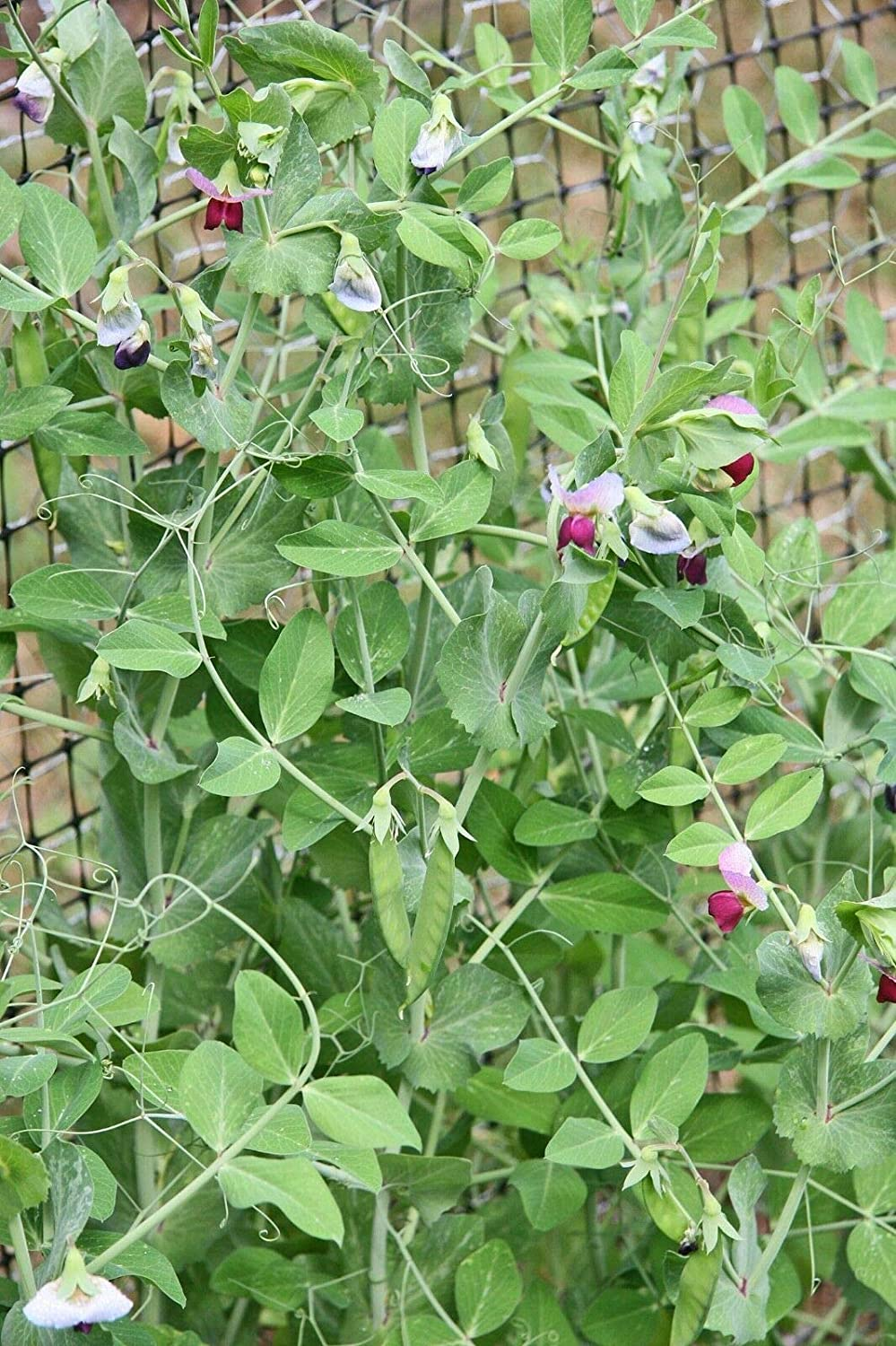 TricaStore WICrop Flowering-Seeds Frost Sale SALE% Dealing full price reduction OFF Pea Master Winter 50