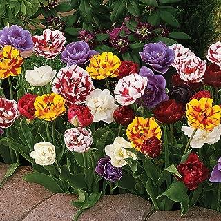 Peony-Flower Shaped Spring Flowering Bulbs - A Terrific Tulip Variety That has Flowers That Look Like Peonies - 15 Bulbs Measuring 11 to 12 cm per Order