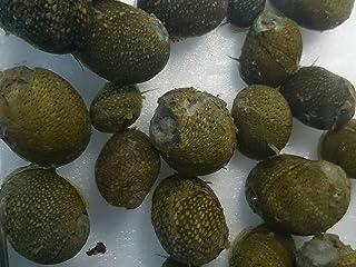 【石巻貝 20匹セット】イシマキガイ15匹+補償5匹 (合計20匹) 【生体】