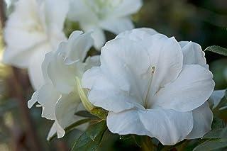 Encore Azalea Autumn Moonlight Azalea 2 Gal, White Blooms