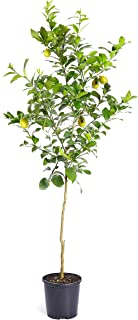 Brighter Blooms - Meyer Lemon Tree - Indoor or Outdoor Potted Fruit Plant, 4-5 Feet - No Shipping to FL, CA, TX, LA or AZ