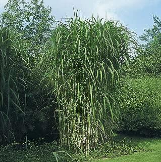 Miscanthus Floridus Maiden Giant Grass Seeds #GGR04