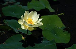 5 Seeds Nelumbo Lutea Seeds (American Lotus Seeds)
