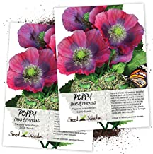 Seed Needs, Hens & Chicks Poppy (Papaver somniferum) Twin Pack of 3,000 Seeds Each