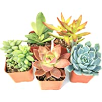 5-Pack Succulent Fully Rooted In Planter Pots with Soil Plant