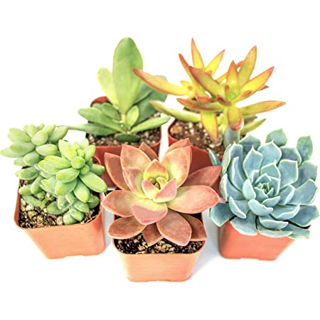 12 Pack Live Sempervivum Houseleek Succulent/Rooted in Pots Flowering Plant Leaves ///Geometric Rosettes by Plants for Pets Fractal Succulents/