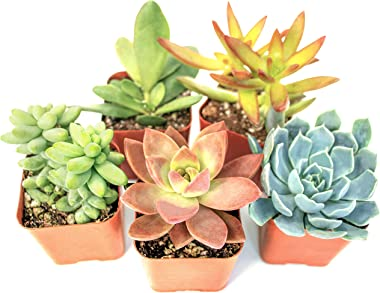Succulent Plants (5 Pack), Fully Rooted in Planter Pots with Soil - Real Live Potted Succulents / Unique Indoor Cactus Decor