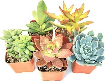 Tillandsia airplant Easy Care No Soil House Cactus Succulent Indoor Air Plant