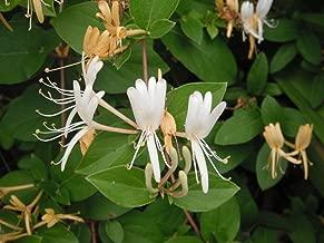 Hardy Favorite Hall's Honeysuckle Lonceria japonica Live Plant