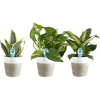 Costa Farms Clean Air 3-Pack O2 for You Live House Plant Collection, White Decor Planter, Green, Yellow