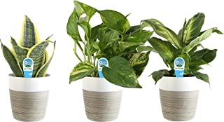 Costa Farms Clean Air 3-Pack O2 for You Live House Plant Collection, White Decor Planter,..
