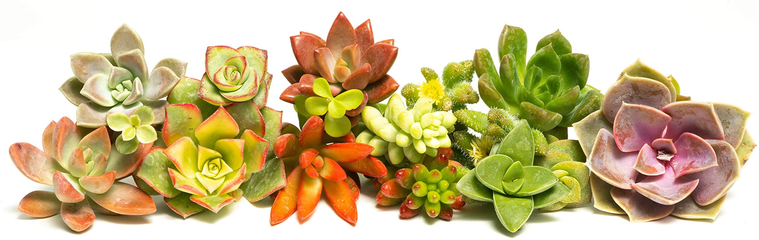 Wonderful grouping for weddings and shower favors. Succulent Plant Cuttings Assortment of 30 Gorgeous Assorted Succulent Cuttings