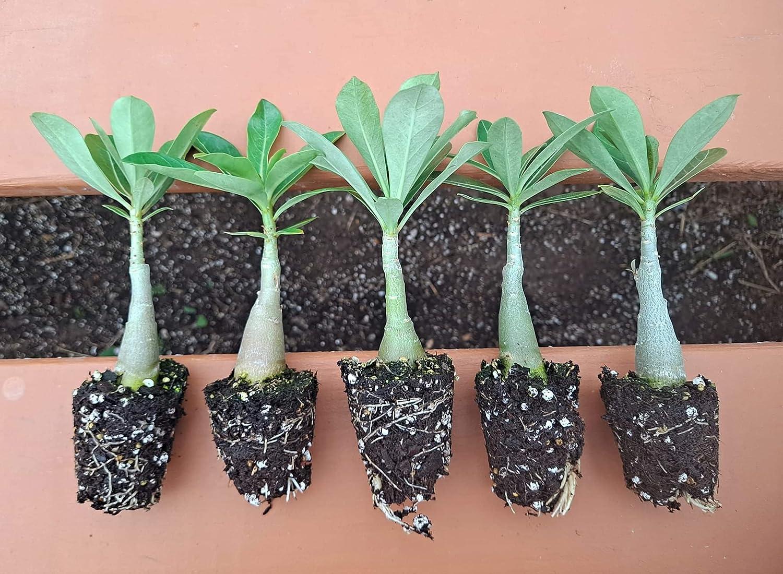 Desert Rose Washington Mall Adenium Obesum seedlings Bundle inch of 5 6-8 Plants Trust
