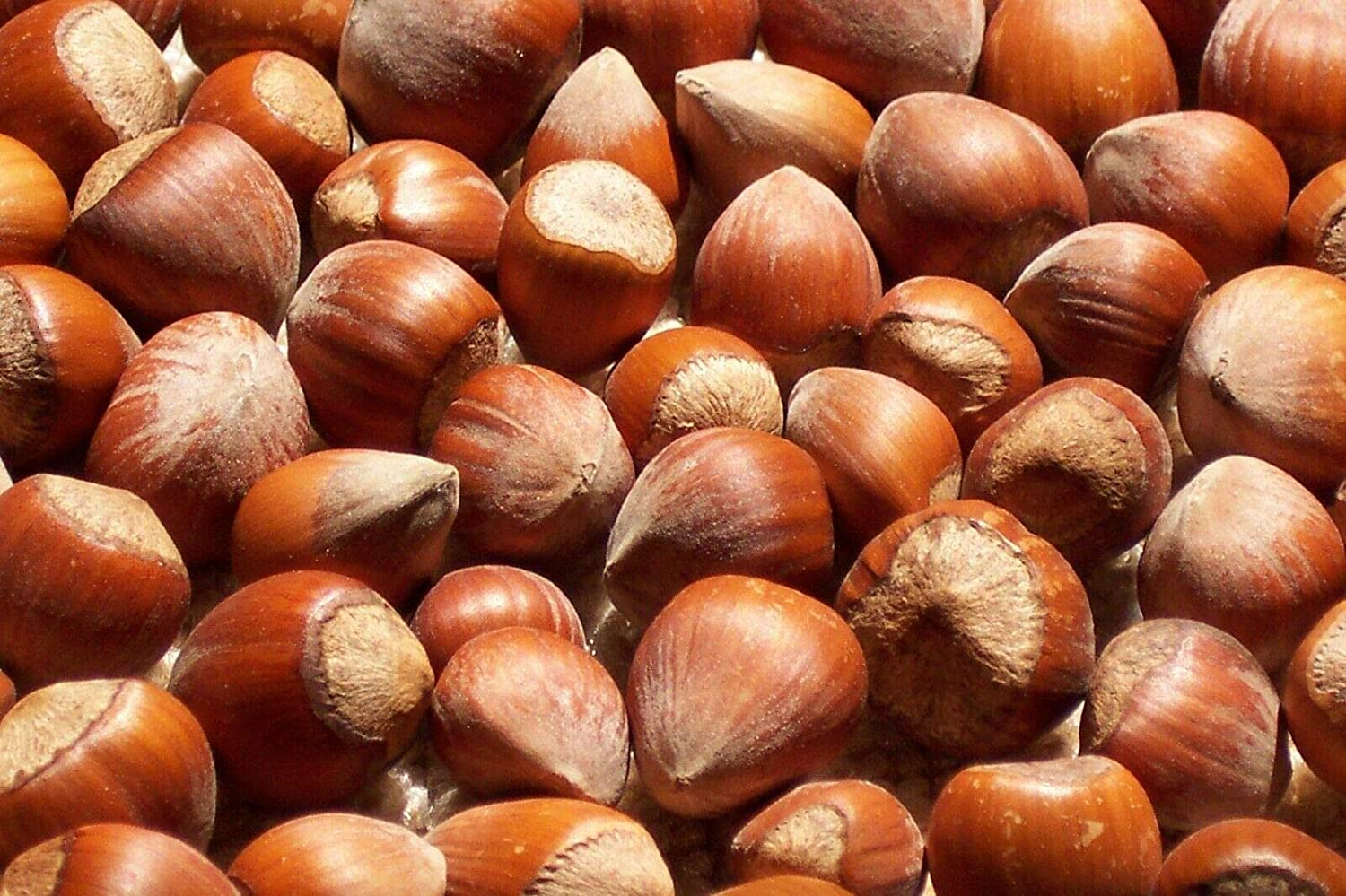 Freshly Harvested Max Fashion 71% OFF American Grown Raw Hazelnuts Fi In-shell whole