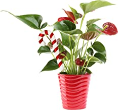 Costa Farms Blooming Anthurium Live Indoor Plant Gift, Fresh From Our Farm or Home Décor, 12 to 14-Inches Tall, Ships in R...