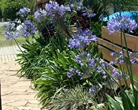 Agapanthus Lily of The Nile - 30 Live Plants - Blooming Ornamental Foliage