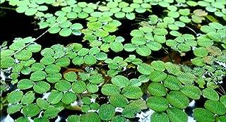Hot Sale! Water Spangles-Salvinia minima-Live Aquarium/Aquatic/Floating (