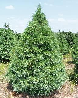 Best ponderosa pine tree seeds Reviews