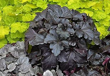 Primo Black Pearl Coral Bells (Heuchera) Live Plant, Black Foliage, 0.65 Gallon