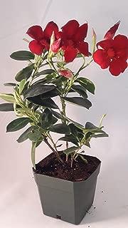 Best mandevilla plant for sale Reviews
