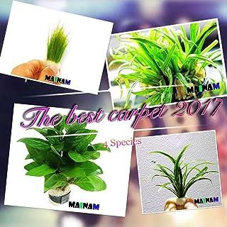 micro sword plant