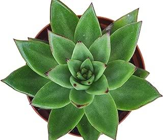 Best little jewel succulent care Reviews