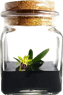 BLOOMIFY Miniature Orchid Terrarium -Zero Care - Haraella retrocalla - 3