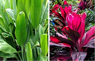 Best ti plant care instructions Reviews