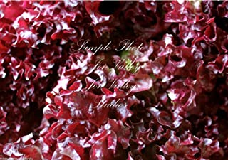 Sow No GMO Lettuce Ruby Red Leaf Non GMO Heirloom Leafy Garden Vegetable 500 Seeds