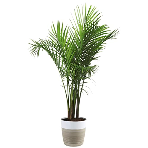 Indoor Palms Plants: Amazon.com on house plant schefflera arboricola, house plant palm care, bamboo tree, house plant flower, house plant orchid, house plant swedish ivy, yucca house plant tree, house plant arrow, house plant rubber plant, house plant grass, house plants that look like trees, low maintenance indoor plants tree, house plant pineapple, house plant house, house plant with green leaves and white, corn house plant tree, house plant umbrella tree, house plant bamboo, house plant propagation, house plant pink,