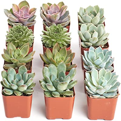 Shop Succulents | Radiant Rosette Live Plants, Hand Selected Variety Pack of Mini Succulents | Collection of 12