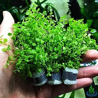 Greenpro Micranthemum Monte Carlo 3-Bunch Freshwater Live Aquarium Plants Carpet Tank Decoration