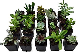 Succulent Plants [20 Pack Succulents] - Rooted 2 Inch Succulents in Planter Pots with Soil, Unique Live Indoor Plants for Decoration, Easy Care Plant Decor by Succulent Depot