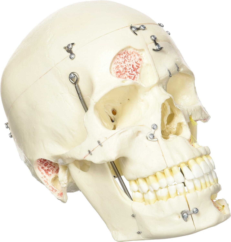 3B Scientific Menschliche Anatomie - Luxus-Demonstrationsschädelmodell, 10-teilig B007NCTUAE | Offizielle Offizielle Offizielle Webseite  e475bd