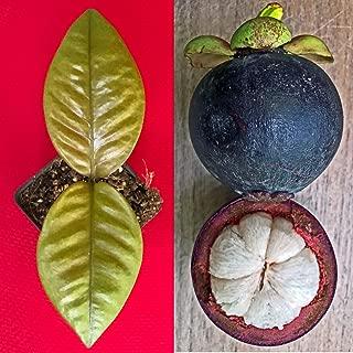 mangosteen plant