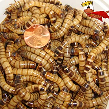 300ct Live Superworms, Feed Reptile, Birds, Fishing Best Bait