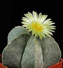 Astrophytum myriostigma, Bishop's Cap Cactus, Bishop's Hat Cactus Seeds (25 Seeds)