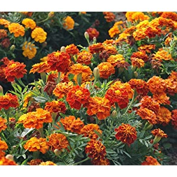 Marigold Seeds - French Sparky Mix - Heirloom Flower Garden Protection 1,000 Seeds
