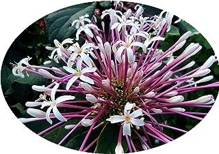 Starburst Shooting Star Clerodendrum Quadriloculare Tropical Plant Shrub White Pink Flowers Starter Size 4 Inch Pot Emeralds Tm