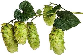 Tahoma Beer Hops Vine - Humulus - Grow your own Beer! - 4